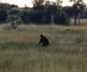 Actual photo of skunk ape