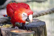 Papagei an Vogeltränke