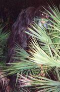 Myakka skunk ape 1