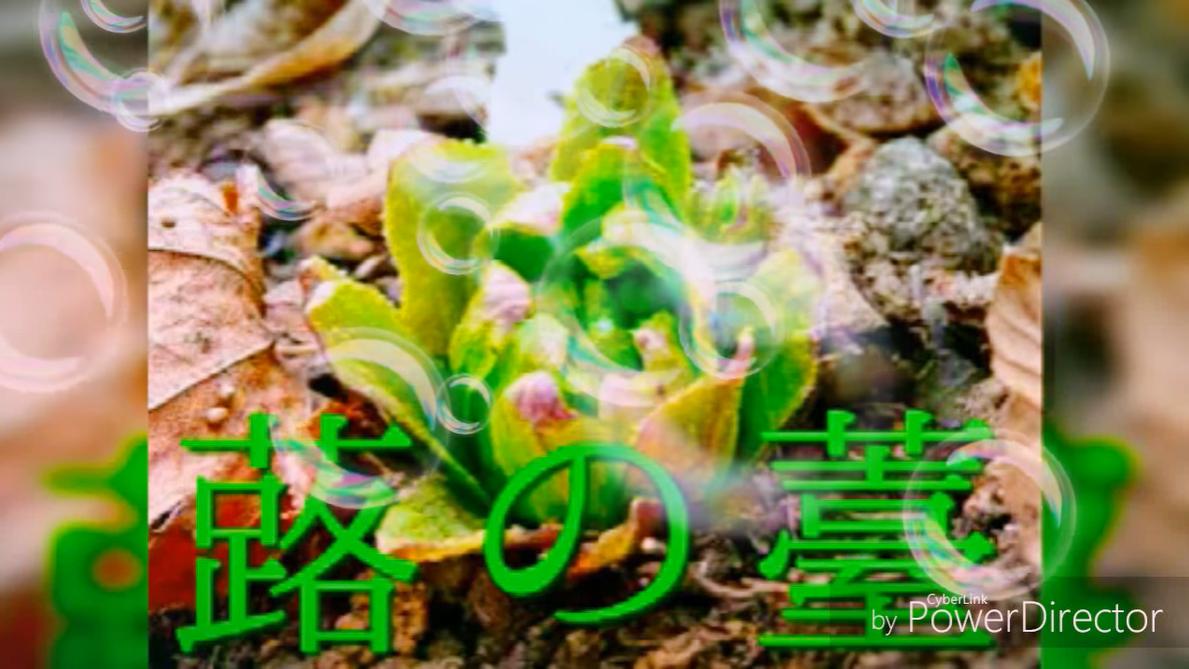 蕗の薹 (Fuki no Tou)