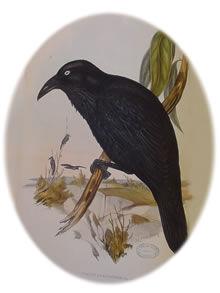 Corvus coronoides - Neuhollandkrähe oder Australian Raven