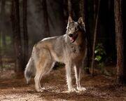 Real-Wolf.jpg