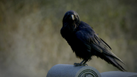101-035~Elena-Crow