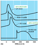Conduction of nerve fibres