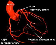 Arteries herat.png