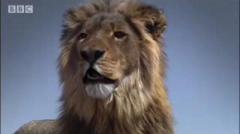 Lion fight! - Pride - BBC animal drama