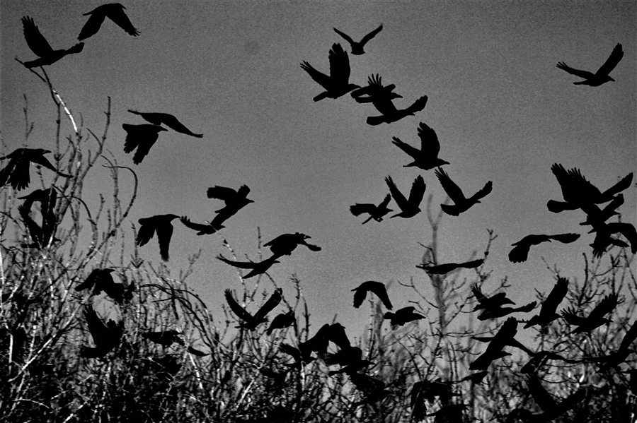 Crows (folklore)