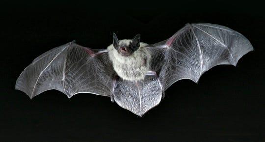 Bats (folklore)