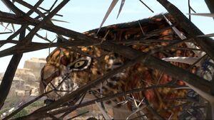Phango threatening the zebras