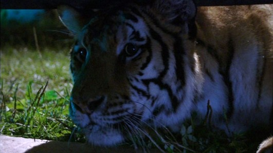 Bengal Tiger (Maneater)