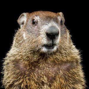 Groundhog thumb.ngsversion.1484683810503.adapt.1900.1