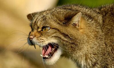 Scottish-Wildcat--001-1-.jpg