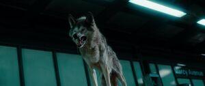 Maxim Horvath's Wolf