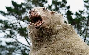 Sheep saying Baaaaaa