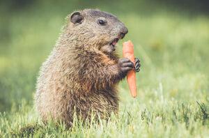 Groundhog-eating-carrot