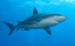 Caribbean Reef Shark.jpg