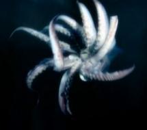 Despair Squid