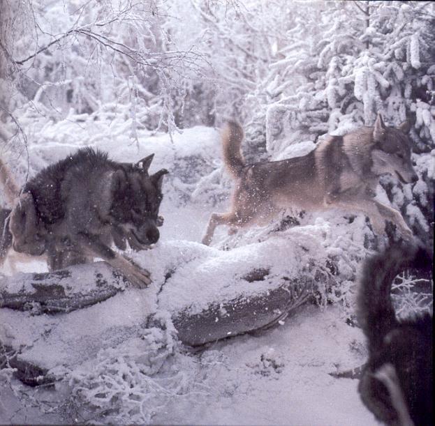 Jadis' Wolves