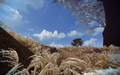 Autumn Reed Bed 1.png