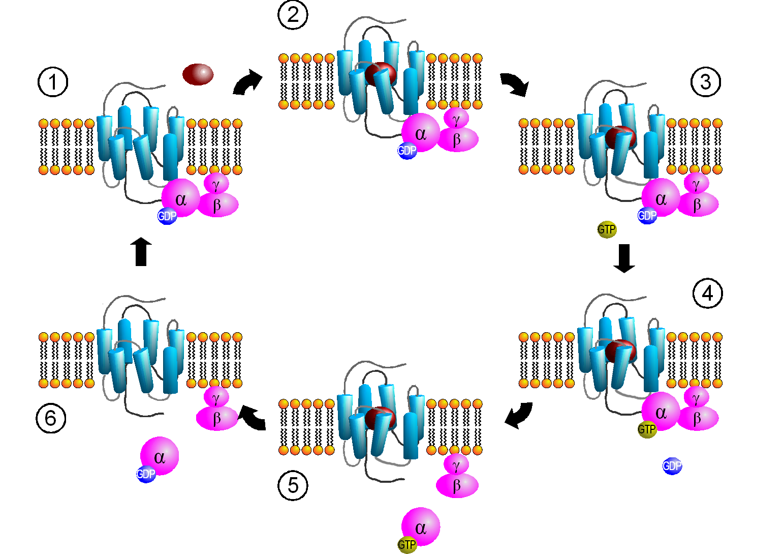 G-белки