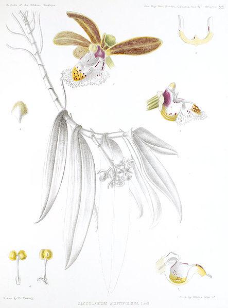 Gastrochilus