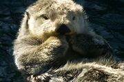 Otter (Real World)