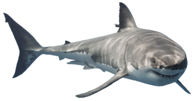 Shark-1-.png