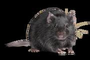 Rat (Real World)