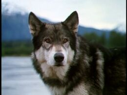White Fang (Character)