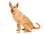 Dingo (Real World)