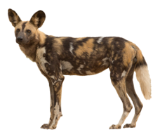 African wild dog (Real World)