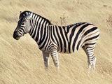 Zebra (Real World)