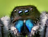 Jumping Spider (Real Life)