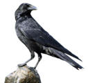 Crow (Real World)
