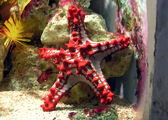 Red-Knobbed Sea Star