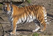 Tiger (Real World)