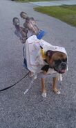 Halloween Dog Michonne