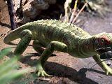 Petrolacosaurus