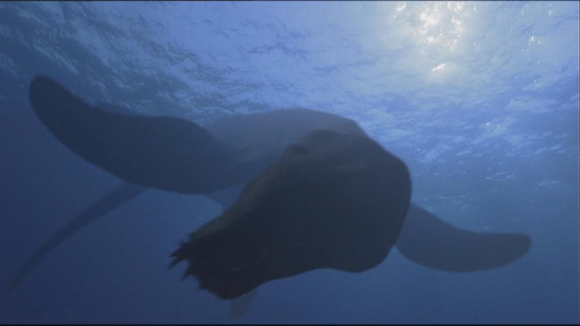 Plesiopleurodon