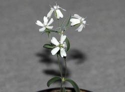 Silene Stenophylla.jpg