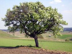 Wild pear tree by ph3256-d4dszmc.jpg