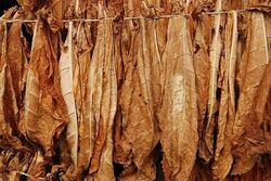 Leaves dried tobacco.jpg
