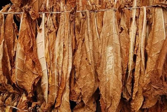 Charles Calvert's Tobacco