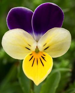 Viola-tricolor.png