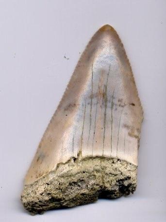 1916 Jersey Shore Shark Tooth