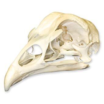 Lloyd Olsen's Axe & the Skull of Mike the Headless Chicken