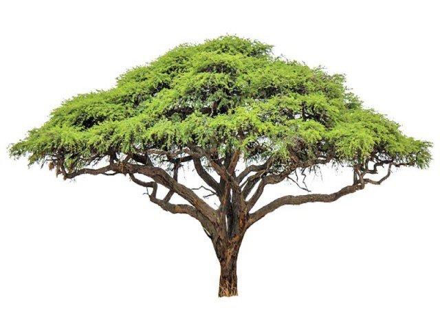 Johann Baptist Isenring's Acacia Tree
