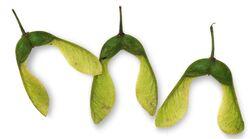 Sycamore seeds.jpg