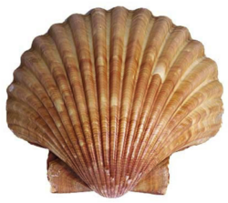 Scallop shell.png