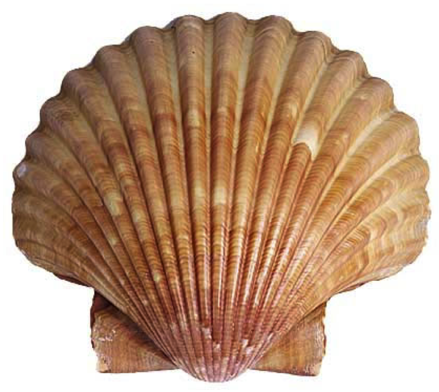 Scallop Shell of Zebedee